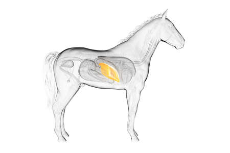 3d rendered medically accurate illustration of a horses liver