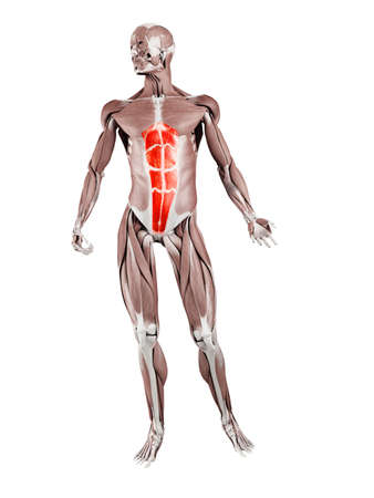 3d rendered muscle illustration of the rectus abdominis