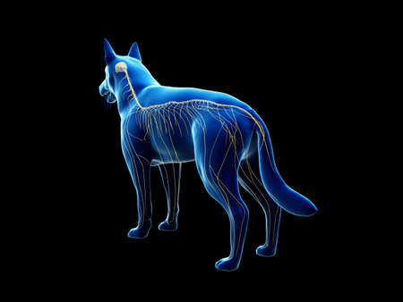 3d rendered anatomy illustration of the canine nervous system