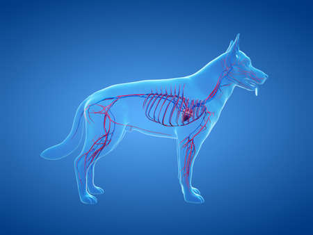3d rendered anatomy illustration of the canine vascular system Stock fotó