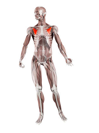 3d rendered muscle illustration of the pectoralis minor