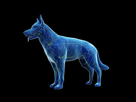 3d rendered anatomy illustration of the canine lymphatic system Stock fotó