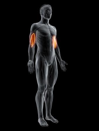 3d rendered muscle illustration of the brachialis 版權商用圖片