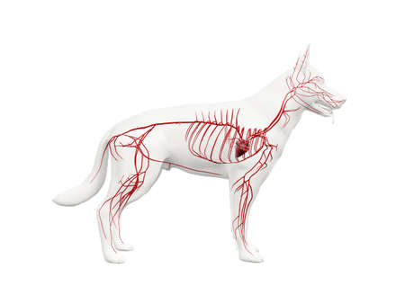 3d rendered anatomy illustration of the canine arteries