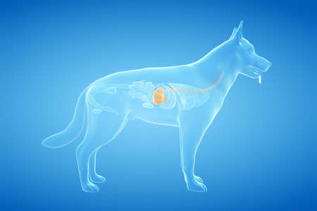 3d rendered anatomy illustration of the canine stomach