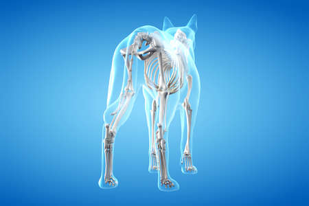 3d rendered anatomy illustration of the canine Stock fotó