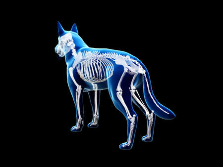 3d rendered anatomy illustration of the canine skeleton Stock fotó
