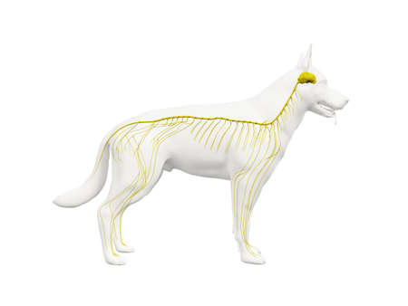3d rindió la ilustración de la anatomía del sistema nervioso canino