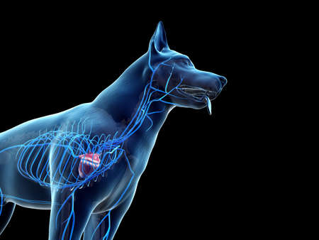 3d rendered anatomy illustration of the canine veins