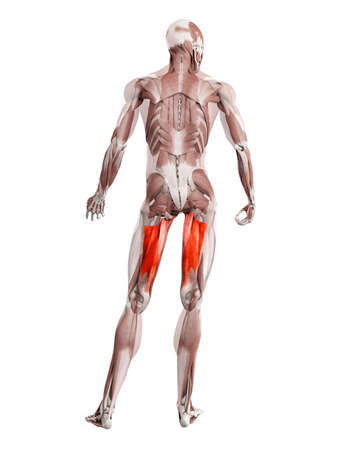3d rendered muscle illustration of the adductor magnus