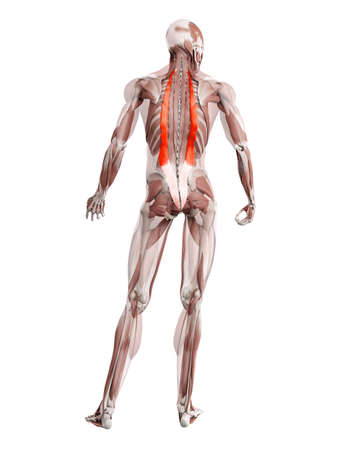 3d rendered muscle illustration of the iliocostalis 版權商用圖片