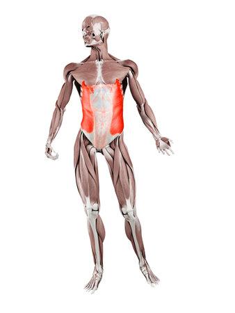3d rendered muscle illustration of the external oblique 版權商用圖片
