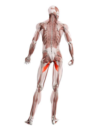 3d rendered muscle illustration of the adductor brevis