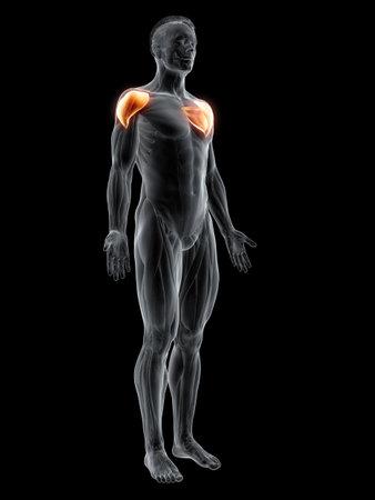 3d rendered muscle illustration of the deltoid 版權商用圖片