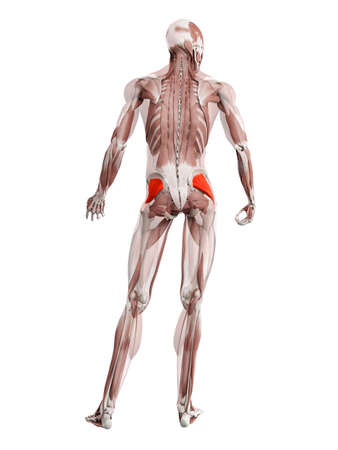 3d rendered muscle illustration of the gluteus minimus