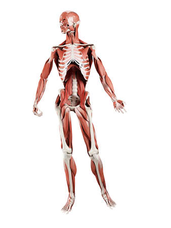 3d rendered muscle illustration of the deep muscles