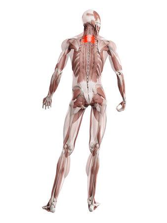 3d rendered muscle illustration of the serratus posterior superior 版權商用圖片