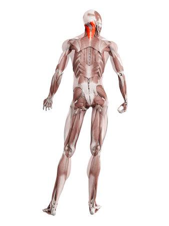 3d rendered muscle illustration of the splenius capitis