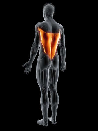 3d rendered muscle illustration of the latissimus dorsi