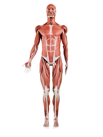 3d rendered medically accurate illustration of the muscle system