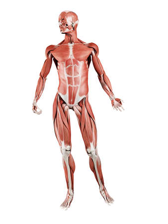 3d rendered muscle illustration of the front