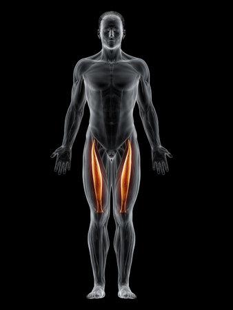 3d rendered muscle illustration of the rectus femoris 版權商用圖片