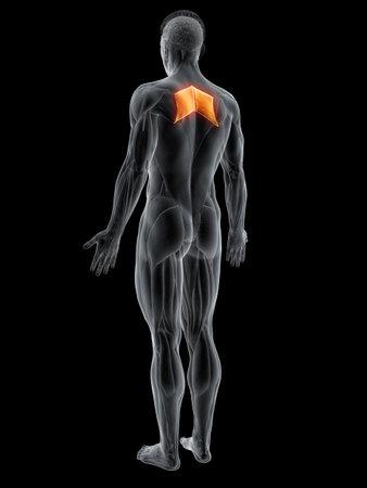 3d rendered muscle illustration of the rhomboid major 版權商用圖片