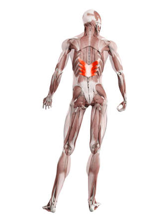 3d rendered muscle illustration of the serratus posterior inferior