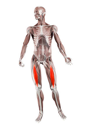 3d rendered muscle illustration of the vastus intermedius 版權商用圖片