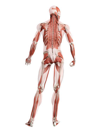 3d rendered muscle illustration of the deep back muscles 版權商用圖片