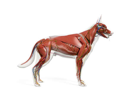 3d rendered anatomy illustration of the canine anatomy