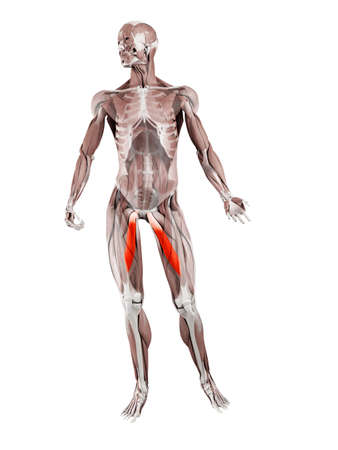 3d rendered muscle illustration of the adductor longus