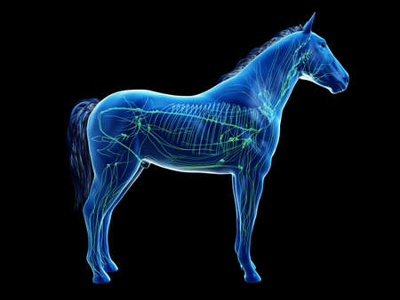 3d rendered anatomy of the equine anatomy - the lymphatic system Stockfoto