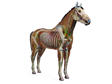 3d rendered anatomy of the equine anatomy Stockfoto