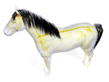 3d rendered anatomy of the equine anatomy - the nervous system