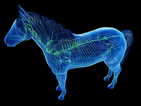 3d rendered anatomy of the equine anatomy - the lymphatic system Фото со стока