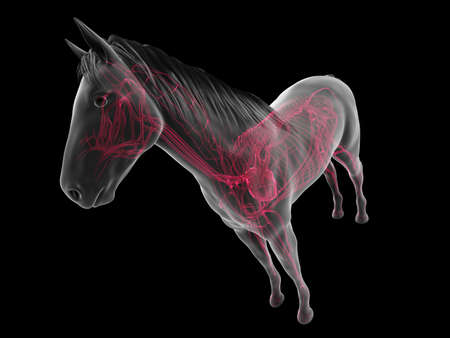 3d rendered anatomy of the equine anatomy  - the vascular system