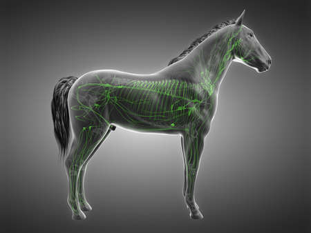 3d rendered anatomy of the equine anatomy - the lymphatic system 版權商用圖片
