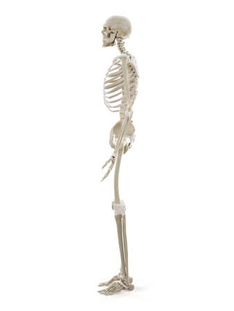 3d rendered medically accurate illustration of the human skeleton Standard-Bild - 133027451