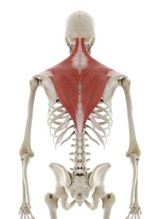 3D gerenderte medizinisch genaue Darstellung des Trapezius