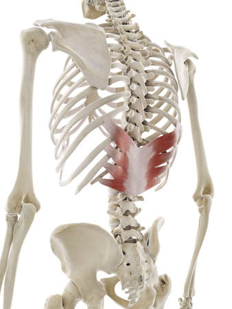3d rendered medically accurate illustration of the serratus posterior inferior