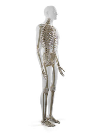 3d rendered medically accurate illustration of the human skeleton Standard-Bild - 133027905