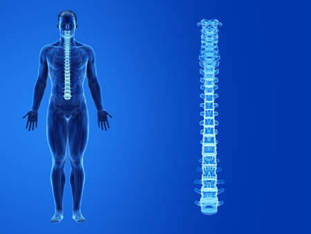 3d rendered medically accurate illustration of the human spine Standard-Bild - 133027908
