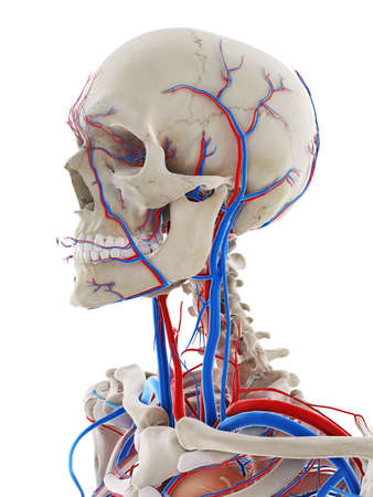 3d rindió la ilustración médicamente exacta de los vasos sanguíneos de la cabeza