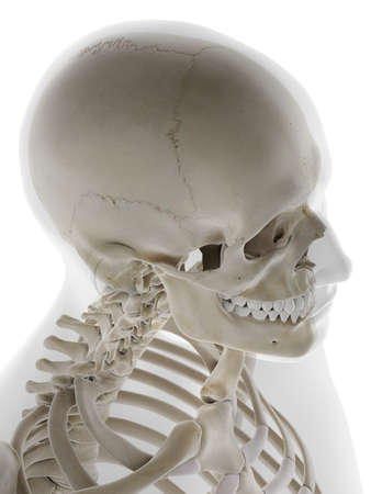 3d rendered medically accurate illustration of the human skull Standard-Bild - 133027937