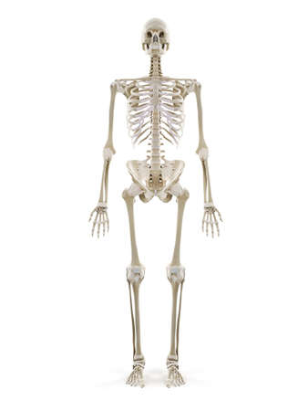 3d rendered medically accurate illustration of the human skeleton Standard-Bild - 133027982