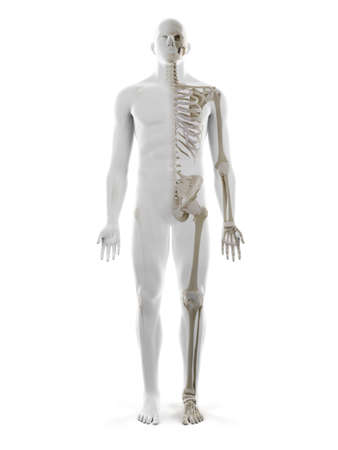3d rendered medically accurate illustration of the human skeleton Standard-Bild - 133028017