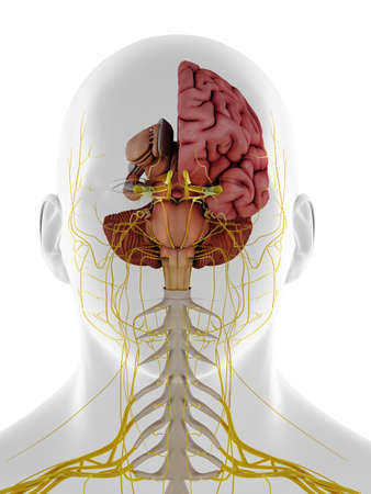3d rendered medically accurate illustration of a frontal view of the internal brain anatomy