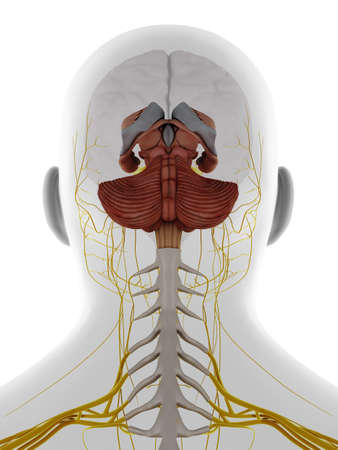 3d rendered medically accurate illustration of the posterior Stockfoto