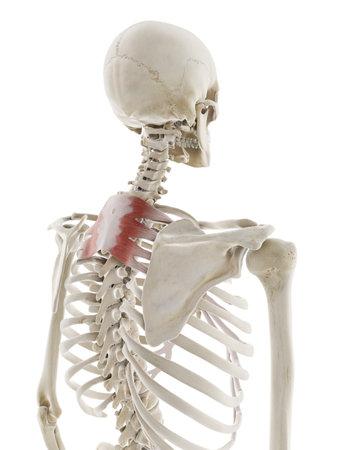 3D-gerenderte medizinisch genaue Darstellung des Serratus posterior superior Standard-Bild